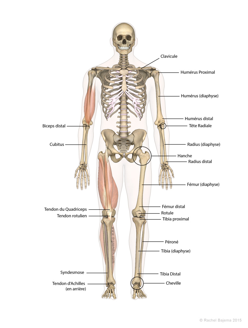 Skeleton_French